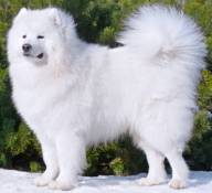 Image result for samoyed dogs